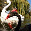 Любовь лебедя к лодке по-прежнему сильна