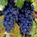 Виноград защищает от гипертонии