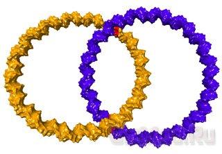 Из ДНК сварганили обручальные кольца