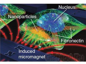 Наномагниты помогут в изучении клеток