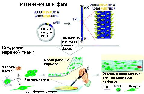 Вирус, Бактериофаг