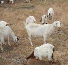 На Google работают козлы