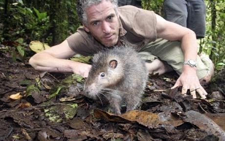 Эта гигантская крыса совсем не боится людей