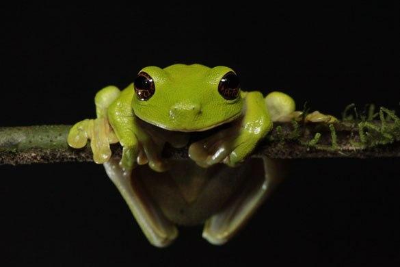 Находящаяся под угрозой исчезновения древесная лягушка Litoria sauroni