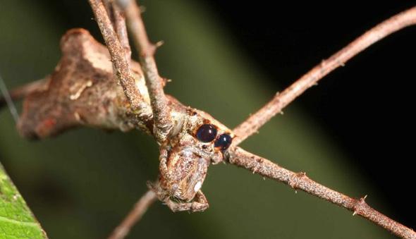 Паук из семейства Deinopidae