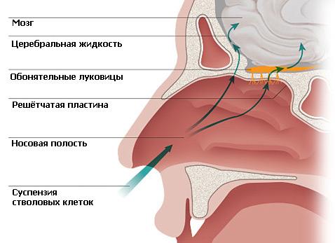 Учёные предлагают вдыхать стволовые клетки через нос