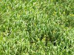 Ученые создали вечнозеленый газон