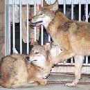 Корейцы впервые клонировали волка