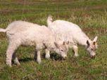 В Беларуси создали трансгенных козлят