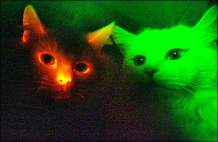 В Корее клонировали «светящихся» котов