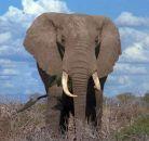 Слоны умеют считать