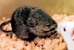 Успешно клонирована мышь из клеток мертвой особи