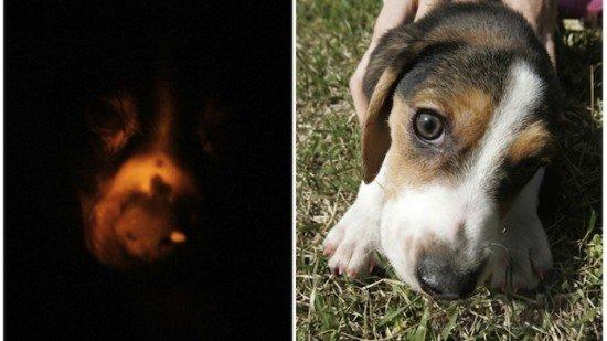 Корейцы создали флуоресцентную собаку