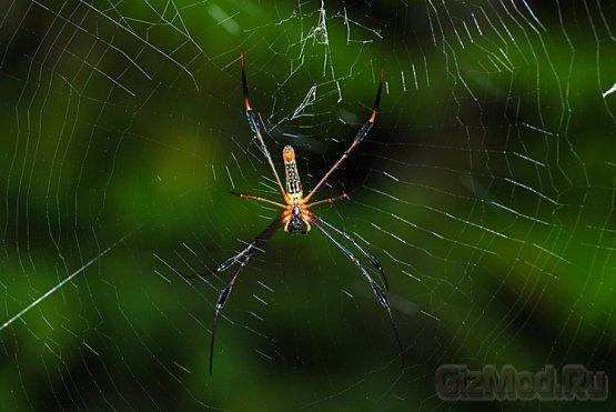 Скрипичные струны из паутины