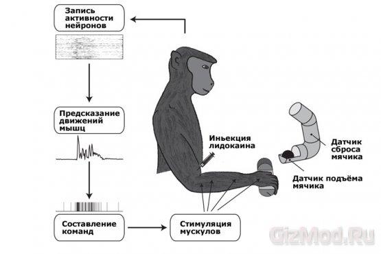 Электро-интерфейс взаимодействия мозга и мышц