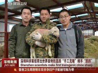 Китайцы клонировали правильную овцу