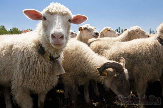 SMS от овцы