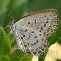 Бабочки-мутанты после аварии на АЭС «Фукусима-1»