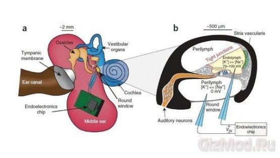 Внутренее ухо в качестве генератора