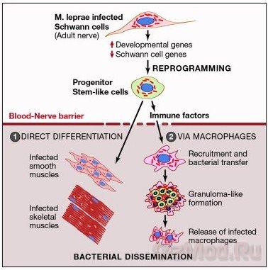 Бактерии умеют перепрограмировать клетки мозго