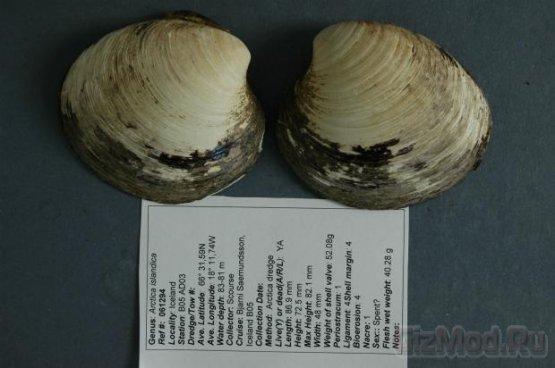Британские ученые убили пятисотлетнего моллюска
