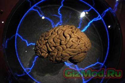 Механизм появления мозговых извилин