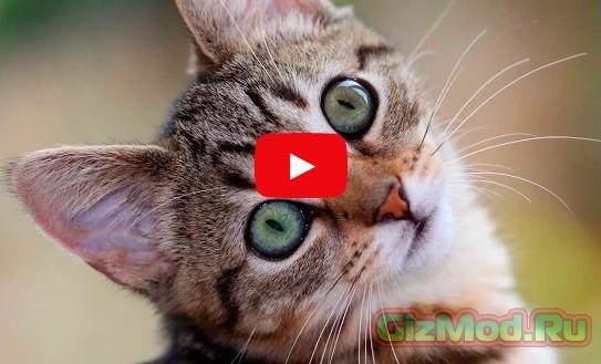 Мурлыканье кота нарушает авторские права
