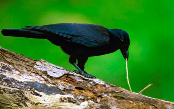 Видео слежка за воронами